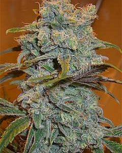 feminized K-Train Marijuana