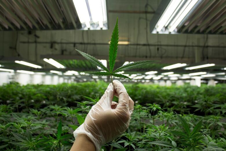 Cannabis oil sale
