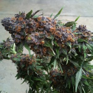 Purple Kush Cannabis Strain