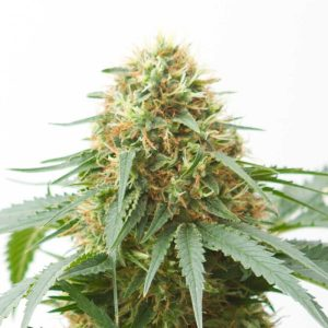 Feminised Northern Lights Auto Weed Seeds