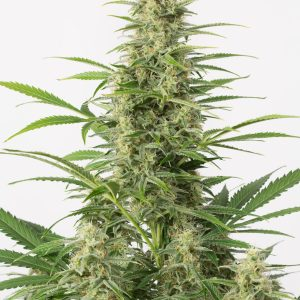 Sour Diesel Haze Auto Feminised Seeds
